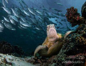 Az élet körforgása Teknős körülötte tüskés makrélák raja – Sipadan island