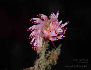 Virág. Csupaszkopoltyús csiga – Fülöp szigetek